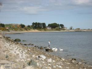 anglesey swans